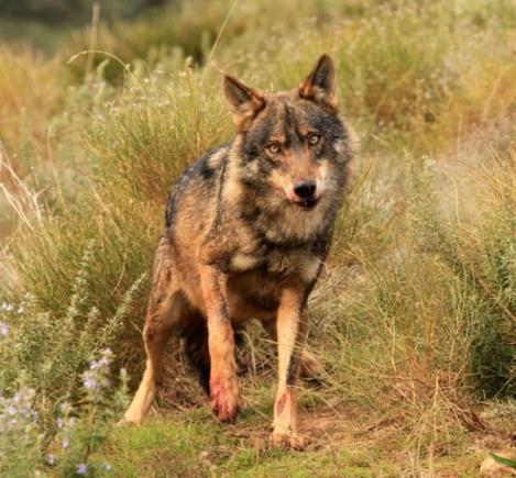 Solicitan a la Xunta que las indemnizaciones por daños del lobo se cobren en un máximo de 6 meses