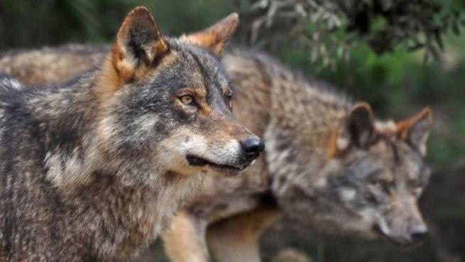 Condenada la Junta a pagar 130.000 € por ataques de lobos